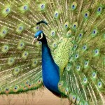 Peacock image from Dallas Whole Life newsletter Turning Challenge Into Opportunity